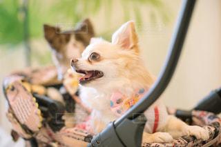 カメラにポーズを鏡の前で座っている犬の写真・画像素材[1596140]