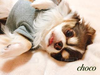 毛布の上に横になっている茶色と白犬の写真・画像素材[1622347]