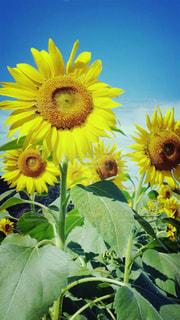 近くに黄色い花のアップの写真・画像素材[1685249]