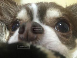 カメラを見て茶色と白犬の写真・画像素材[1685337]