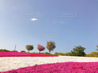 赤白とピンクの花の写真・画像素材[1791657]