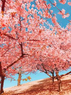 空,花,桜,木,屋外,ピンク,綺麗,河津桜,pink
