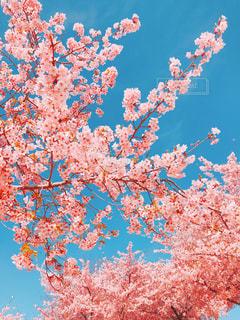 ピンクの花の木の写真・画像素材[1853060]