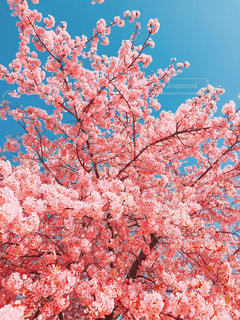 木にピンクの花のグループの写真・画像素材[1854574]