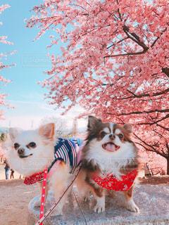 犬,空,花,桜,チワワ,木,屋外,ピンク,綺麗,花見,笑顔,河津桜,pink