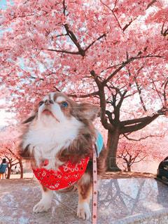 犬,空,花,桜,チワワ,木,屋外,ピンク,綺麗,花見,河津桜,pink