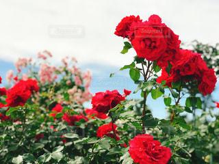 空,公園,花,屋外,綺麗,フラワー,散歩,薔薇,可愛い,お散歩