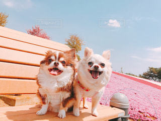 犬,空,公園,花,チワワ,屋外,ピンク,綺麗,フラワー,散歩,可愛い,お散歩