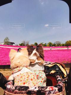 犬,空,花,チワワ,屋外,ピンク,綺麗,フラワー,散歩,可愛い,お散歩