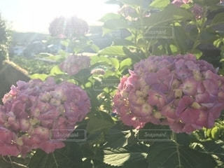 花,太陽,景色,お花,紫陽花,キラキラ,梅雨,綺麗だね,紫陽花は雨が似合う