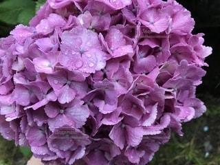 花,雨,お花,紫陽花,キラキラ,梅雨,綺麗だね,紫陽花は雨が似合う