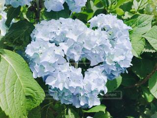 花,景色,お花,紫陽花,梅雨,ハートの紫陽花,晴れ女,綺麗だね,紫陽花は雨が似合う,梅雨を吹き飛ばせ
