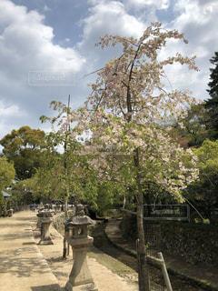 花,桜,青空,旅行,広島,宮島,2018年4月
