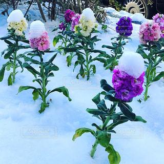 名古屋,2018年1月,雪の日のお花,雪帽子