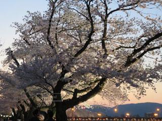 自然,桜,屋外,夕方