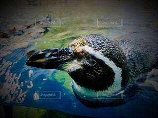 水族館,ペンギン,泳ぐ,水中,可愛い,江ノ島,休日,江ノ島水族館