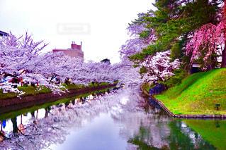 水面下の桜の写真・画像素材[1217627]