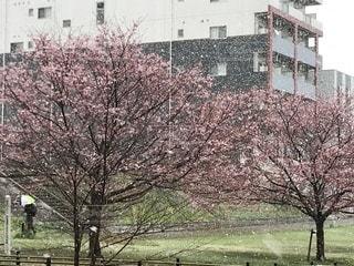 樹木,雪と桜,桜と雪