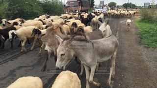 自然,動物,海外,旅,休日,インド,放牧
