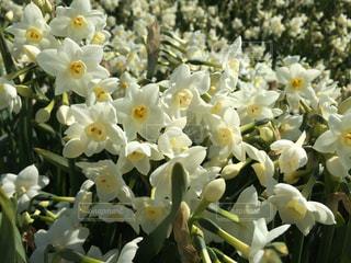 花,白,日本,水仙,草木,花絶景