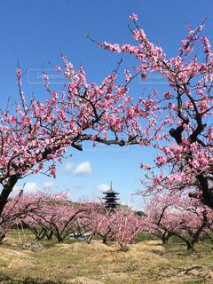 花,雲,日本,桃の花,草木,花絶景