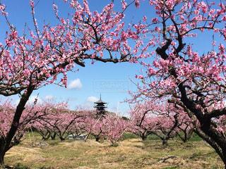 空,花,雲,樹木,日本,桃の花,草木,花絶景