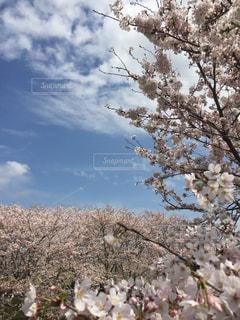 花,桜,青空,樹木,日本,花絶景
