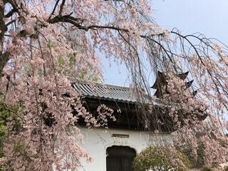 花,桜,樹木,日本,宮島,地球,花絶景