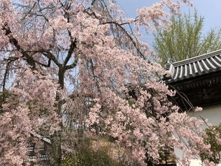 空,花,桜,景色,樹木,日本,宮島,花絶景