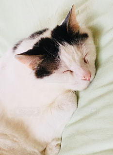ベッドの上で横になっている茶色と白の猫の写真・画像素材[1263794]