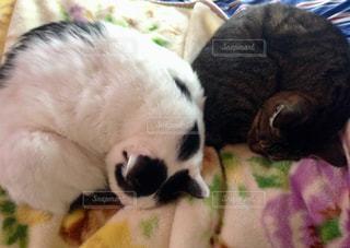 ニャンコのシンクロ寝姿の写真・画像素材[1616945]