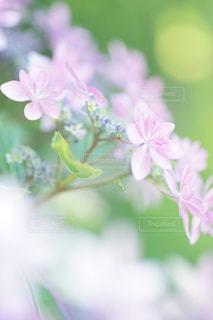 花,森,紫陽花,flower,梅雨,ボケ,鎌倉,ふんわり,ピンク色,pink,草木,エアリー,マクロ