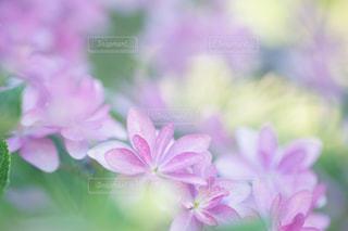 花,ピンク,あじさい,紫陽花,flower,ボケ,ふんわり,ピンク色,pink,エアリー,マクロ