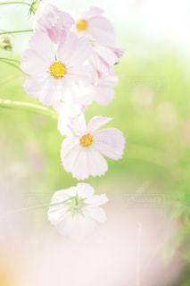 花,ピンク,コスモス,ぼかし,flower,秋桜,ボケ,ふんわり,ピンク色,pink,エアリー,マクロ