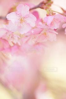 自然,花,春,屋外,ぼかし,flower,ボケ,ふんわり,河津桜,草木,ハイキー,エアリー,マクロ
