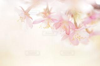 花,春,桜,ピンク,花びら,サクラ,ボケ,河津桜,エアリー,マクロ,ブロッサム