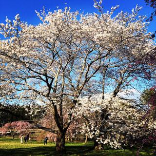 公園の大きな木の写真・画像素材[1130689]