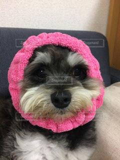ピンクの帽子をかぶった犬の写真・画像素材[1186840]