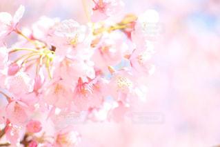 自然,花,春,屋外,ピンク,かわいい,鮮やか,樹木,お花見,和,草木,桜の花,さくら,ブロッサム