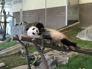 動物,寝る,パンダ,動物園,白浜,夏バテ,だらける