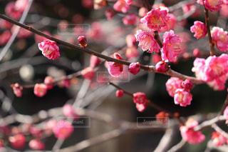 北野天満宮の梅花の写真・画像素材[3026511]