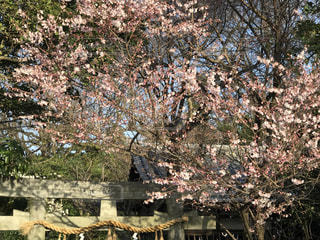 花,春,桜,木,神社,鳥居,花見,樹木,お花見,イベント,草木,桜の花,さくら,ブロッサム