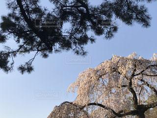 自然,空,花,春,桜,木,屋外,花見,樹木,お花見,イベント,松,草木