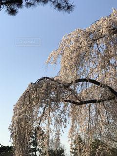 空,花,春,桜,木,青空,花見,樹木,お花見,イベント,草木