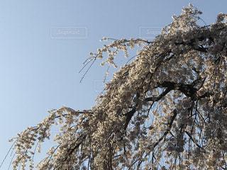 空,花,春,桜,木,青空,花見,樹木,お花見,イベント,草木,桜の花,さくら
