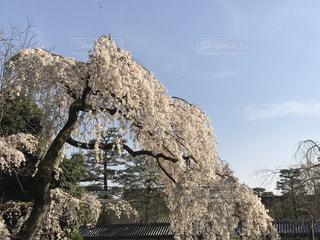 自然,空,花,春,桜,木,屋外,晴れ,青空,花見,樹木,お花見,イベント,快晴,草木