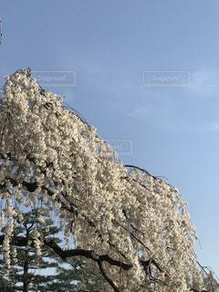 空,花,春,桜,木,白,青空,花見,お花見,イベント