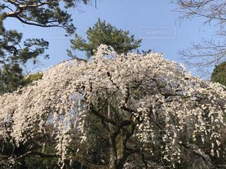 空,花,春,桜,木,屋外,白,青空,花見,樹木,お花見,新緑,イベント,草木,ブロッサム