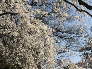 自然,花,春,桜,木,屋外,花見,樹木,お花見,イベント,草木,桜の花,さくら