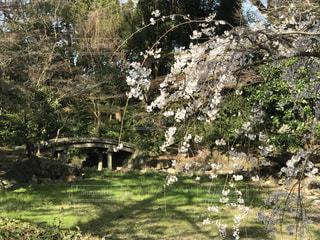 風景,花,春,桜,森林,木,屋外,花見,景色,草,樹木,お花見,新緑,イベント,木陰,地面,草木,石橋